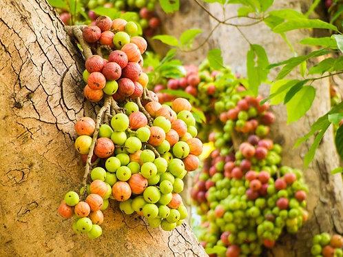 Ficus hispida Rare Fig Tree Seeds