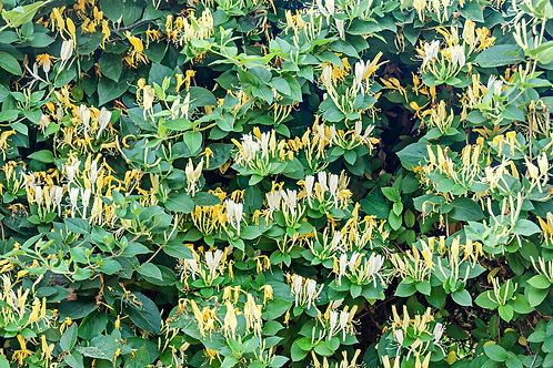 Lonicera maackii Amur Honeysuckle 10 Seeds
