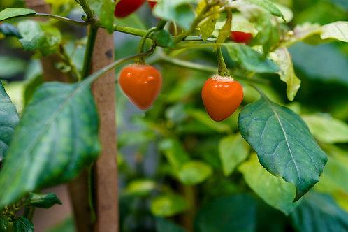 Golden Nugget Pepper 10 Seeds