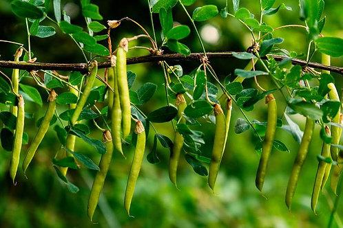 Acacia tortilis - Vachellia 5 rare seeds - Umbrella Thorn Acacia