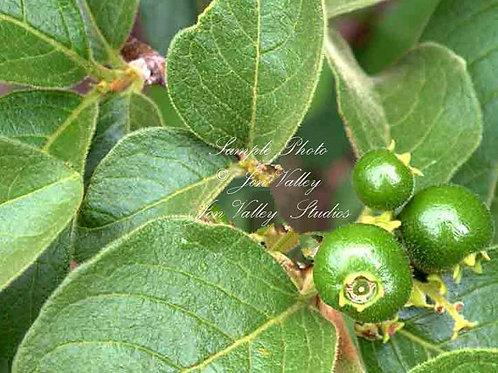 Vangueria Meyna spinosa seeds