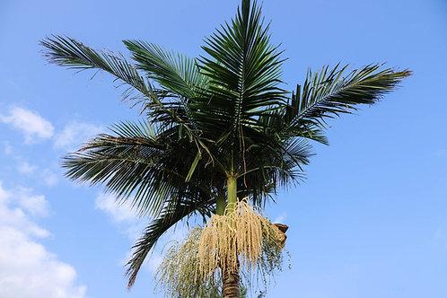 Roystonea regia Royal Palm Tropical seeds