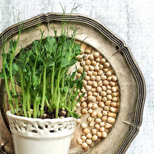 Tom Thumb Dwarf Pea NON-GMO 50 Seeds