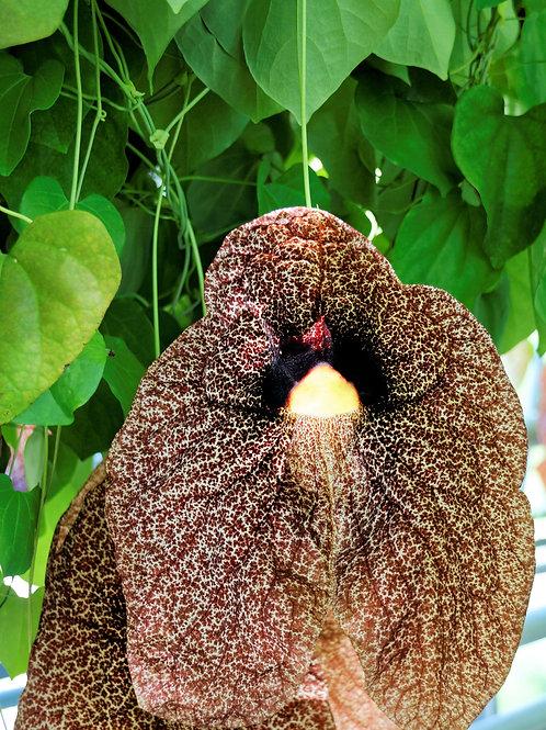 Aristolochia elegans Calico Flower 10 Rare Seeds