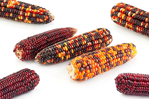 Fiesta Ornamental Corn Rainbow Color Mix Flour/ Decorations 20 Seeds