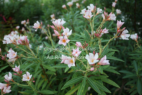 Nerium Oleander Seeds Pink Oleander