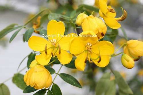 Cassia corymbosa Buttercup Tree Seeds Wholesale