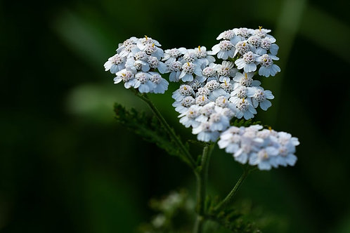 SEEDS = = = 100 seed Pack- White Yarrow- Achillea - Attracts Butterflies