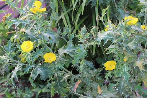 Argemone mexicana Mexican Poppy-Wildflower -Bedding Plant Seeds