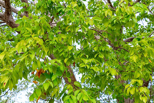 Bursera simaruba Gumbo Limbo 10 seeds