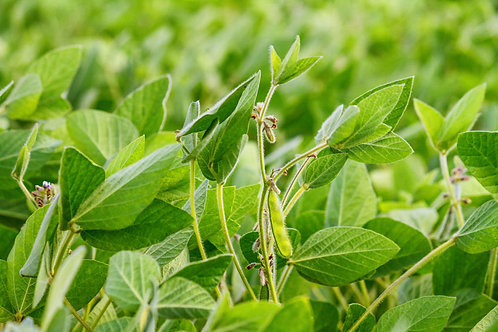 Laredo SoyBean 200 seeds