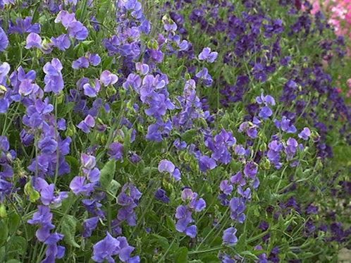 10 Seeds Sweet Pea Purple Mix Seed Pack - Rainbow Flowers