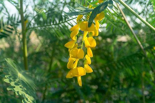 Sesbania bispinosa / aculeate Swamp Pea 10 seeds