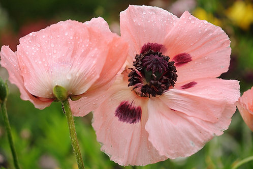 Poppy Pepperbox  Premium Seeds Annual Perennial
