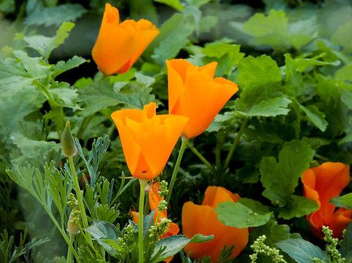 Poppy California Orange Linen  Premium Seeds