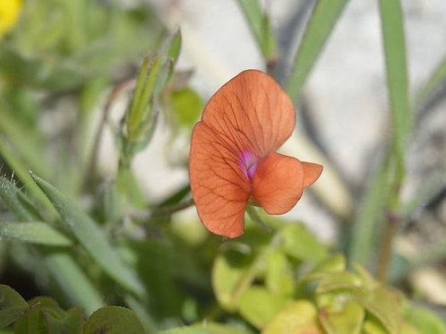 10 Seeds Sweet Pea Prince of Orange Seed Pack -Attracts Butterflies- Wildflower