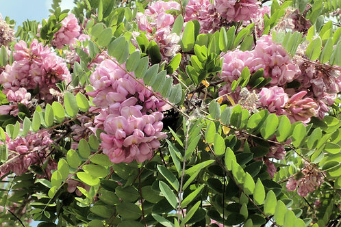 Robinia hispida Rose Locust Tree Seeds