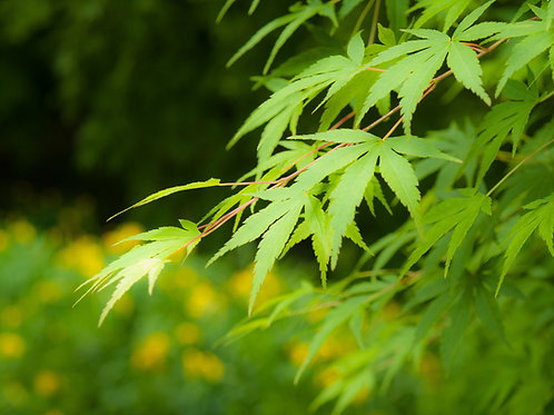 Acer palmatum Japanese Green Maple Seeds Seeds