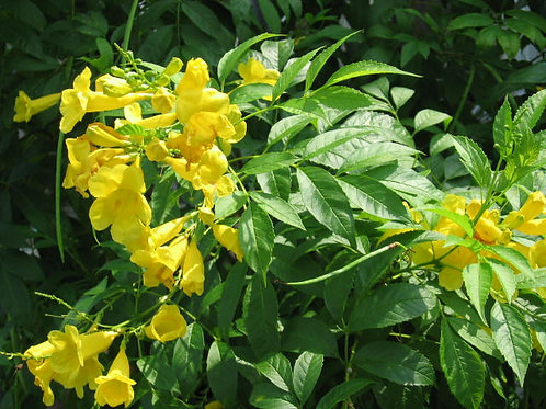 Tecoma stans Yellow Bells 10 Seeds Pack