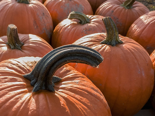 Big Max Pumpkin Seeds Vegetable --NON GMO -Perfect for Carving-   Dependable