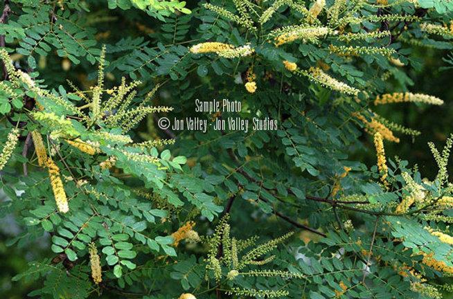 Adenanthera pavonina Seeds Red Sandalwood Tree