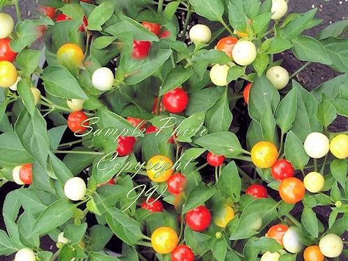 Round Marble Pepper 10 Hard to find Premium Seeds