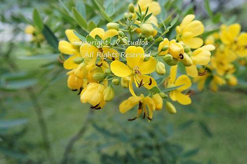Cassia siamea Kassod Tree seed Tropical Seeds