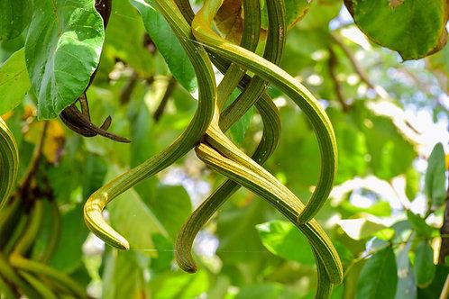 Fernandoa adenophylla Katsagon Tree 5 Seeds