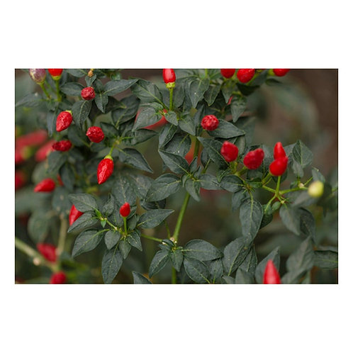 10 seeds Hot Thai Pepper - Flavor - Green To Red all natural