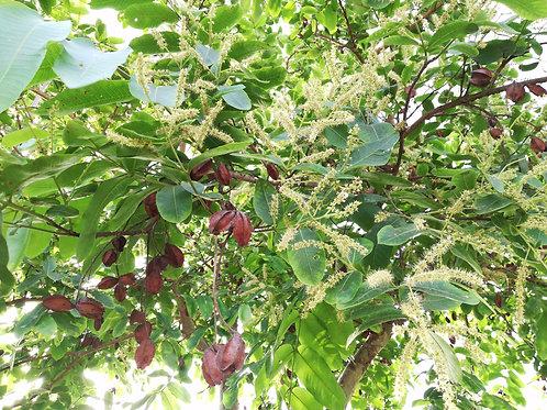 Terminalia arjuna seeds Arjun Tree Koha