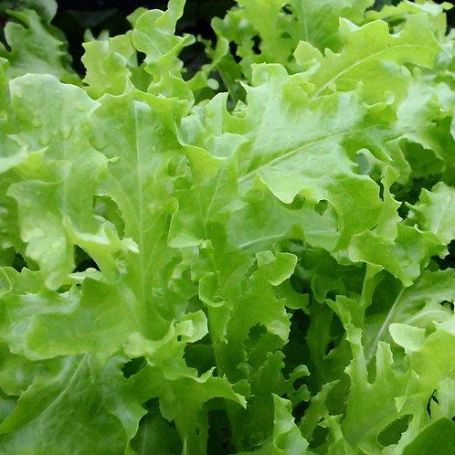 250 SEEDS - Green Oakleaf Lettuce --Heirloom