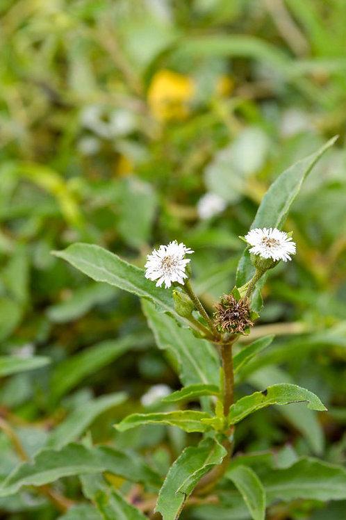 Eclipta prostrata Healing Herb Seeds! False Daisy -Non GMO Seed