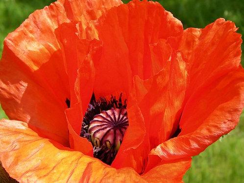 Oriental Poppy Orange - Scarlet color perennial App 100 Premium Seeds