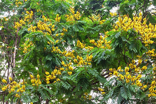 Peltophorum pterocarpum Yellow Flame Tree  Seeds