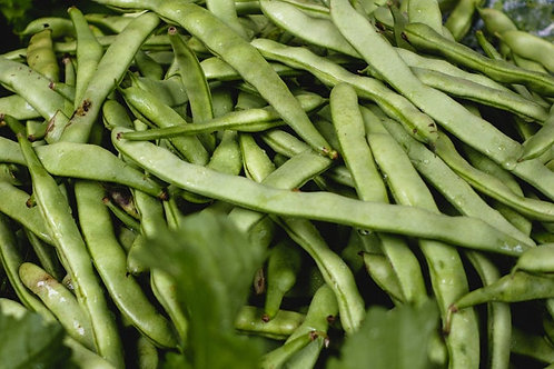Greencrop Bush Bean- 25 seeds - 8 inch pods= No Staking! High Yields