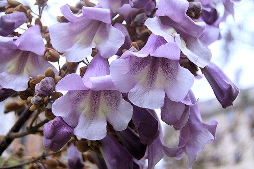 Paulownia tomentosa Seeds Empress Tree