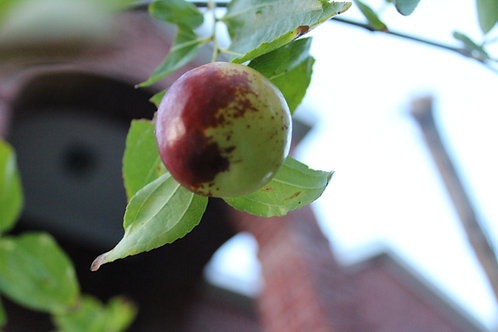 Ziziphus mauritiana Indian Jujube Seeds