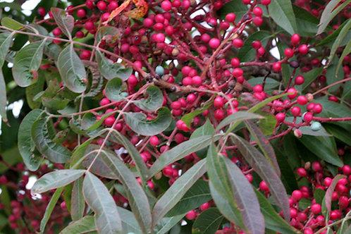 Pistacia chinensis Pistachio  seeds
