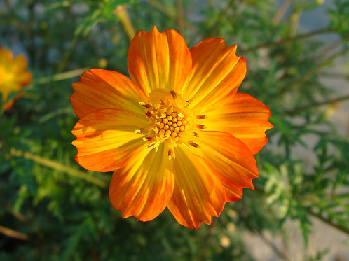 Cosmos Bright Lights 50 Seeds