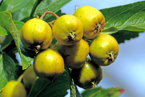 Crataegus mexicana Tejocote Mexican Plum  Seeds