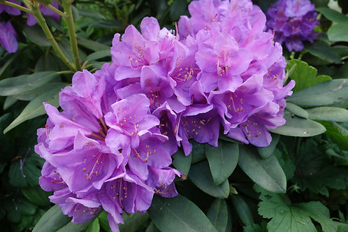 Rhododendron campulatum 20 Hard to Find Seeds-Tropical color Purple Flower
