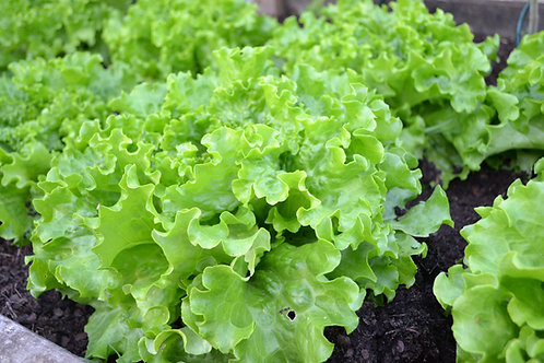 Lettuce Grand Rapids seeds Heirloom Leaf Lettuce Sweet Limited Supply