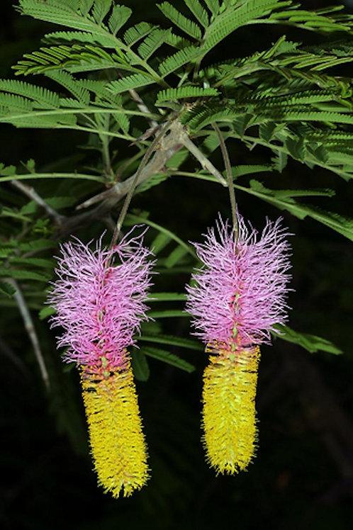 Dichrostachys cinerea - Marabou Thorn - 5 Seeds