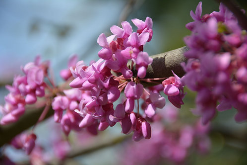 Cercis occidentalis Western Redbud seeds