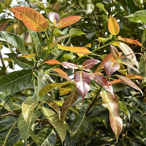 Ficus virens White Fig 20 seeds