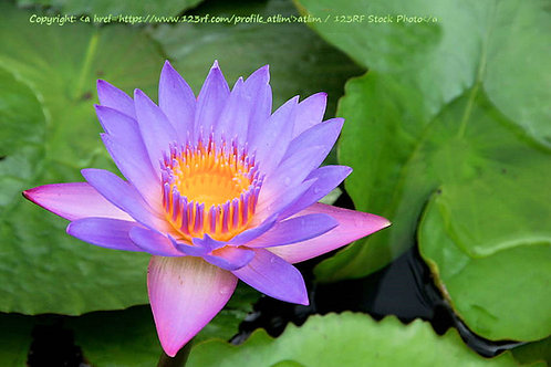 Nymphaea nouchali stellata Blue Star Water Lily