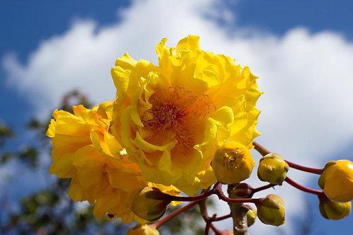 Cochlospermum vitifolium Poro - Poro Buttercup Seeds
