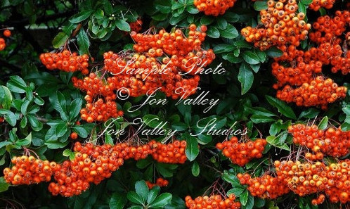 Pyracantha coccinea tree seeds serendipity seeds a small shiny leafed evergreen cultivated for the spectacular display of small white flowers and the red berries that follow these flowers are lovely to mightylinksfo