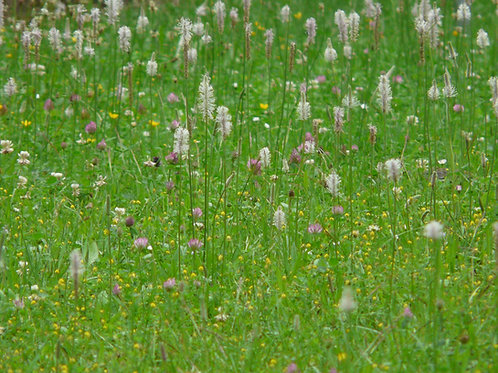 Plantago Ovata Psyllium Annual herb Seeds