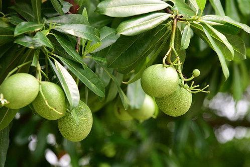 Aegle Marmelos Bael Fruit Tree Seeds